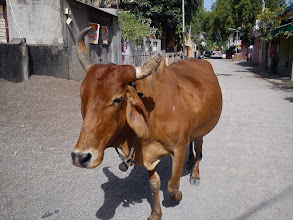 Photo: Looks like you all are crazy about a therianthrophic deity called Ganesha.. Ahem, excuse me, here comes your proud holy Cow from Akola taking his route, everyone get out of my way!! *Drumbeats background...* 9th September updated -http://jp.asksiddhi.in/daily_detail.php?id=296