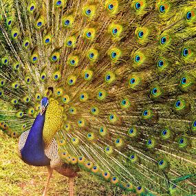 Rain Dance by Avanish Dureha - Animals Birds ( ranthambore, wild life, rajasthan, dureha@gmail.com, incredible india, india, avanish dureha )