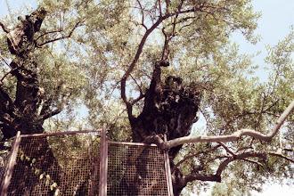 Photo: #021-Le jardin de Gethsémani avec des oliviers datant de 2000 ans