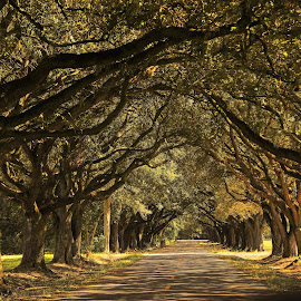 Oak tree row by Ron Olivier - Digital Art Places ( oak tree row,  )