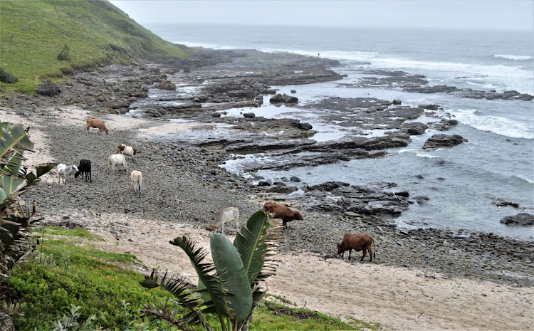 Cows on the beach at Double Mouth apparently licking salt off the rocks
