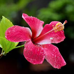 by Bhaskar Patra - Flowers Single Flower