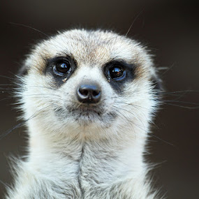 Look at me by Debbie Aird - Animals Other Mammals ( wild, whiskers, fur, wildlife, meerkat, mammal, portrait, eyes, animal )