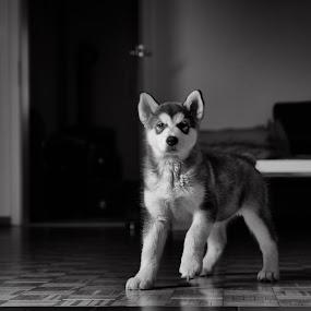 Hello by Ani Desu - Animals - Dogs Portraits ( pupy, malamute )