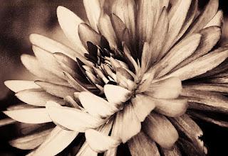 Photo: For all a good start into the weekend and a good time.     #filmnoirfriday by +Kel Hayner +Paul Wright +Thorn Button +Film Noir Friday #breakfastclub  by +Gemma Costa and +Andrea Martinez +Breakfast Club #floralfriday by +Tamara Pruessner +FloralFriday +10000 PHOTOGRAPHERS around the World +Robert SKREINER +Walter Soestbergen #10000photographersaroundtheworld  #hqsppromotion +HQSPPromotion +HQSP Flowers #fotoamateur +Fotoamateur by me +Karsten Meyer +Scotti van Palm +Remo Primatesta #plusphotoextract by +Jarek Klimek #lightroom4 #silverefex #splittoning #toning #bwphotography #sepiasaturday #macro #makro #bokeh +BW DIGITAL PHOTOGRAPHY CLASSIC STYLE #swdpcl  Wenn erwünscht kommt noch ein Making of zu diesem Foto.