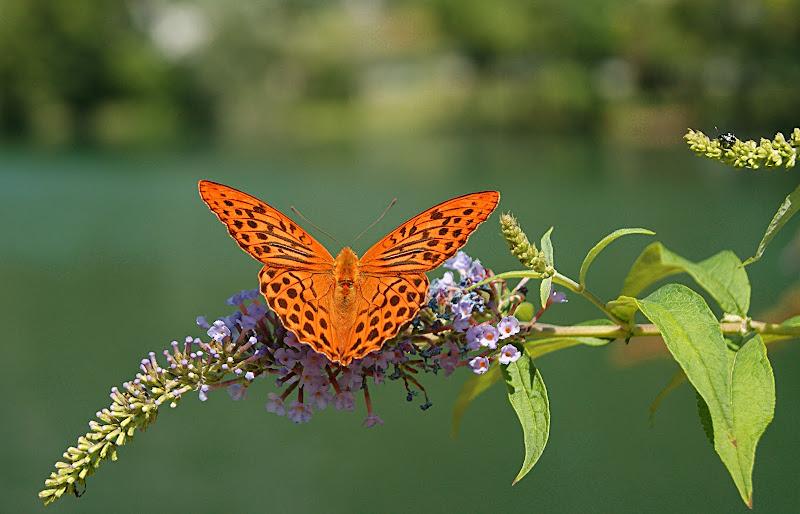 Butterfly di danilo56