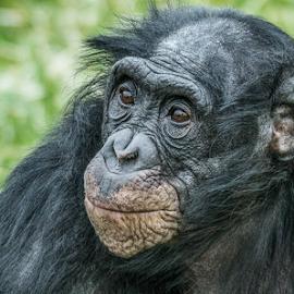 Bonobo by Garry Chisholm - Animals Other Mammals ( bonobo, primate, nature, mammal, ape, garry chisholm )