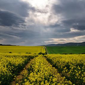 20170422_DSC_0306 by Zsolt Zsigmond - Landscapes Prairies, Meadows & Fields ( sky, spring, rapeseed, canola field, yellow, clouds, landscape,  )