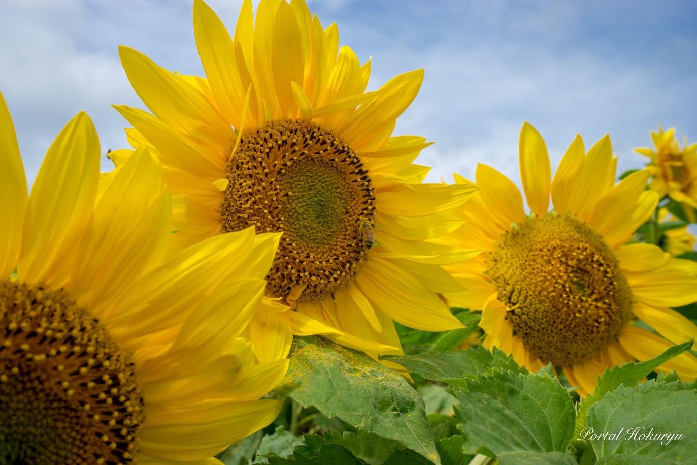 ひまわりの花の蜜を吸うミツバチさん!