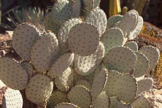 Photo: Prickly Pear Cactus, Westward Look Resort Very healthy prickly pear cactus with such nice shapes and showing good contrast in light and dark with late afternoon sun in Tucson. #cactus  #pricklypear  #arizona  #nature