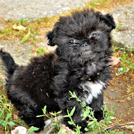 by Snezana Zivkovic - Animals - Dogs Puppies