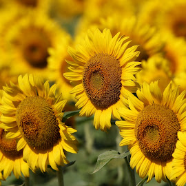 Sunflowers by Davandra Cribbie - Flowers Flower Gardens ( flowers, outdoors, plants, farm, sunflowers,  )