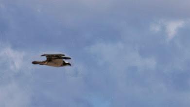 Photo: auch Fischadler brüten dort
