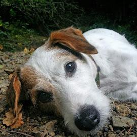 Max by Pamela Iain - Animals - Dogs Portraits