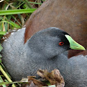 Gallinule, Spot-flanked