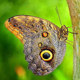 Morpho by Gérard CHATENET - Animals Insects & Spiders (  )