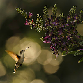 At the wisteria by Mike Scott - Animals Birds ( wisteria, hummers, low light, pretty, bif )