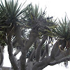 Canary Islands Dragon tree (Drago)