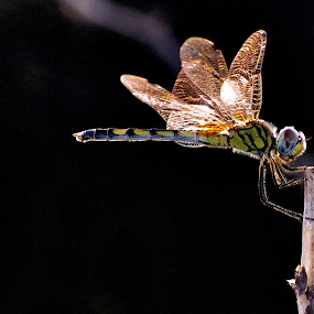 Dragonfly by Govindarajan Raghavan - Animals Insects & Spiders (  )