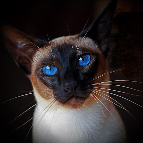 Seal Point Siamese by Deb Thomas - Animals - Cats Portraits ( cats, siamese, seal point,  )