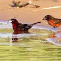 Pipira-vermelha (Silver-beaked Tanager)