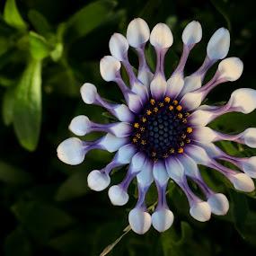 daisy by Mario J - Flowers Single Flower