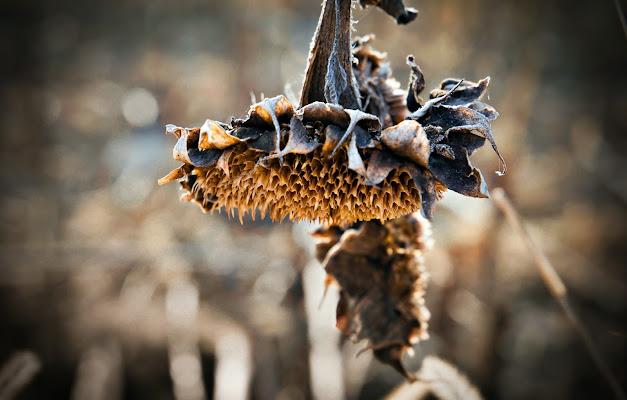 Morte di un girasole di bondarenko61