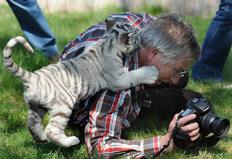 Photo: Белый тигренок игриво нападает на фотографа в одном из зоопарков Германии. (Action Press  Rex Features)