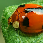 Double disc Ladybird, 雙帶盤瓢蟲