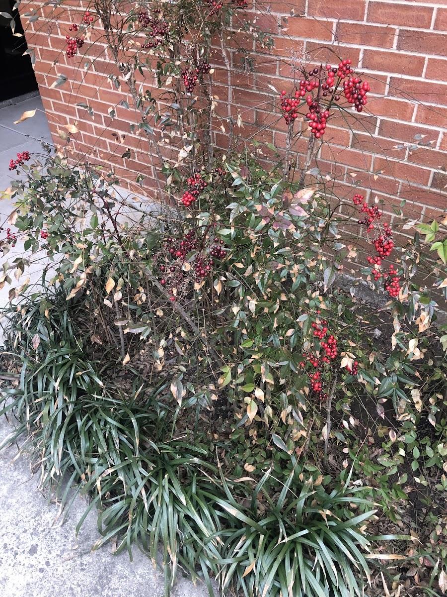 American winterberry