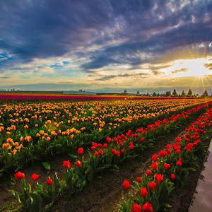 tulipfestival2015 358.jpg