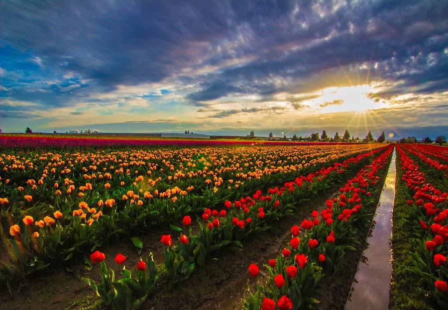 Sunset Tulips by Judi Kubes - Flowers Flower Gardens ( clouds, orange, reflection, red, sky, blue, sunset, yellow, tulips, flowers, sun, , #GARYFONGDRAMATICLIGHT, #WTFBOBDAVIS )