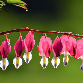Bleeding Hearts by Garces & Garces - Flowers Flowers in the Wild ( bleeding hearts, flowers )