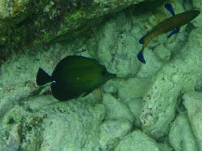 Photo: Zebrasoma scopas (Scopas Tang), Siquijor Island, Philippines