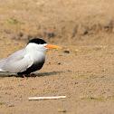 Tern  -  Black-bellied Tern