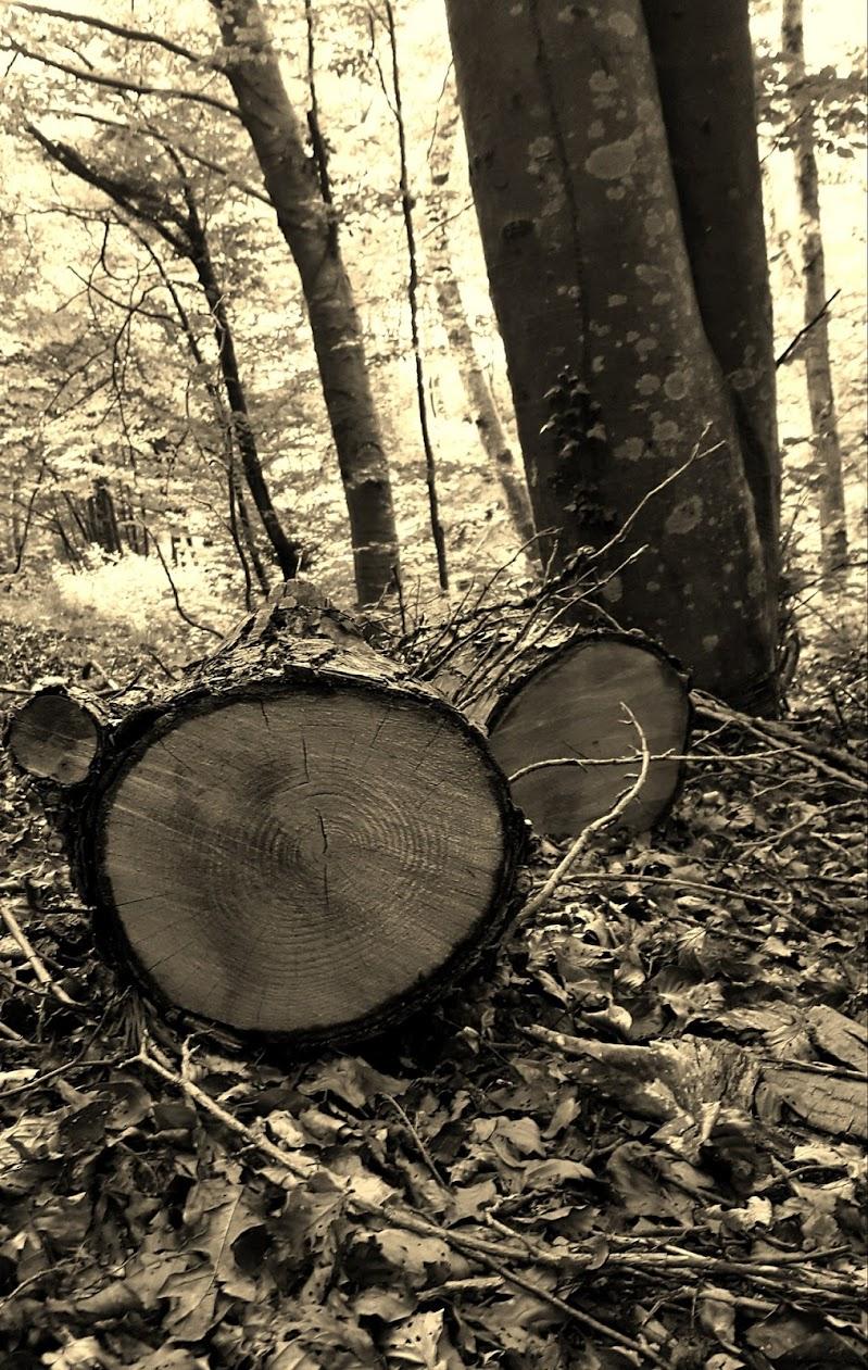 Ceppo nel bosco di selcoffee