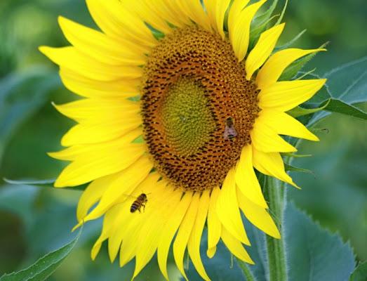 Vola vola vola l'ape Maia di PhotoFabio