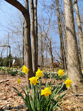 Photo: Yellow daffodils among the forest trees at Hills and Dales Park in Dayton, Ohio.