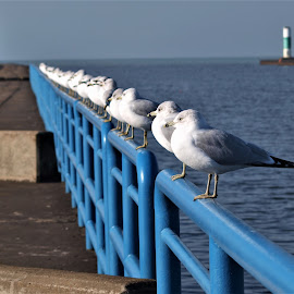 Seagull line up by Jennifer Carnahan - Animals Birds ( seagulls, lined up, blue, guard, rail,  )