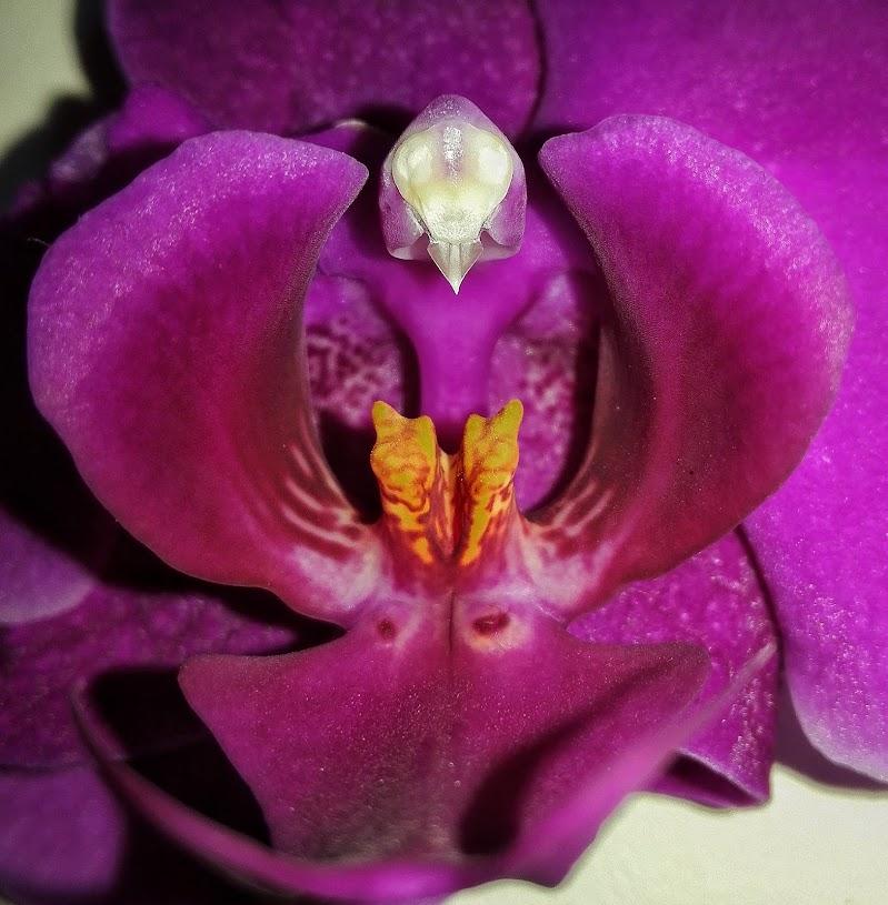 il mimetismo dell'orchindea di gds75photo