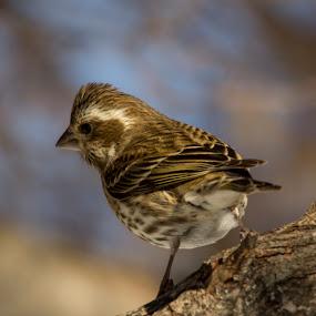 Finch by Francois Larocque - Animals Birds ( bird, winter, tree, finch, brown )