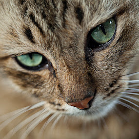 by Hanif Ismail - Animals - Cats Portraits