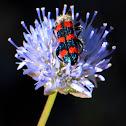 Checkered Beetle; Escarabajo Ajedrezado de las Abejas