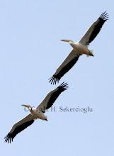 Photo: Great White Pelican