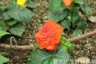Photo: 拍攝地點: 梅峰-溫帶花卉區 拍攝植物: 球根秋海棠 拍攝日期:2012_05_19_FY