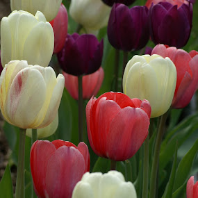 Tulips - Red, White and Purple by Susan Fries - Flowers Flower Gardens ( red, nature, white, tulips, garden,  )