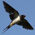 Suara Panggil Burung Walet 2019 icon