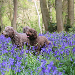 Ace & Belle in lavender fields by David Morrison - Animals - Dogs Portraits ( dogs, lavender fields, ace & belle in lavender fields,  )