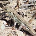 Iberian wall lizard. Lagartija ibérica