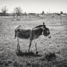 Happy Burro  by Michael Keel - Animals Horses ( animals, black and white, farms, burro, new mexico )